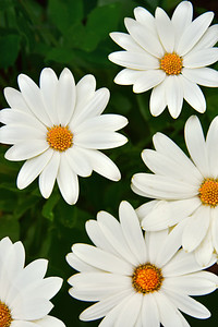 White African Daisies