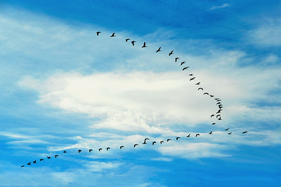 Canada Geese in Flying Formation