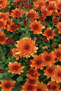 Richly Russet  Chrysanthemums