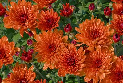 Pumpkin Hued Chrysanthemums