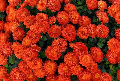 Orange Button Mums