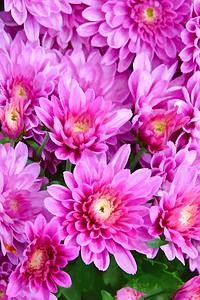 Pink  Chrysanthemums - a Celebration of Live