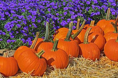 Pumpkins and  Purple Mums