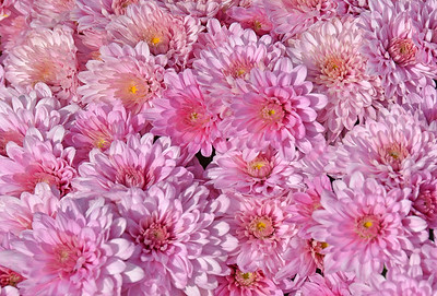 Pastel Pink Chrysanthemums