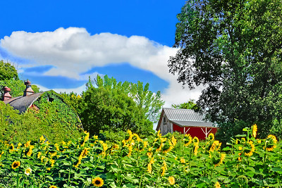 HIllside Sunflowers and Farm