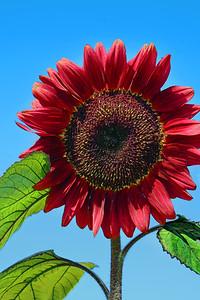 Red Sunflower Portrait