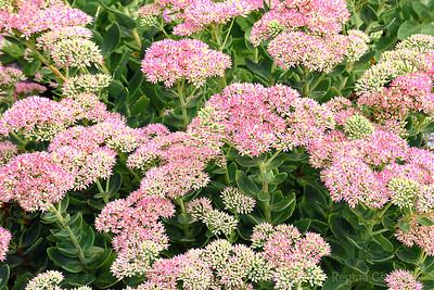 Sedum in Bloom