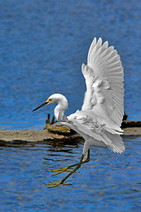 Snowy Egret Touch Down