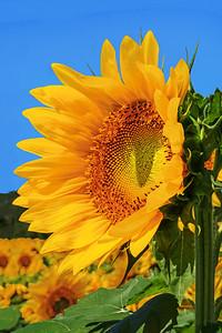 Sunflower Basking in the Sun