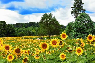 Sunflower Euphoria