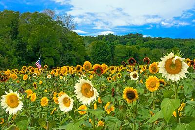 Sunflower Diversity and Harmony