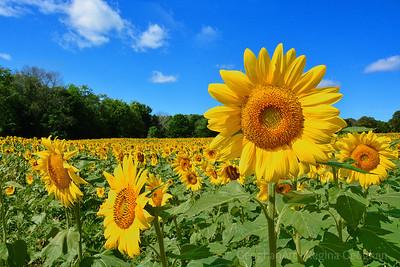Sunflower Celebration of Life