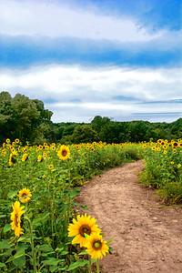 Path through Sunflower Field