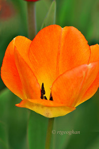Day 117: Yellow-Orange Tulip - April 27.