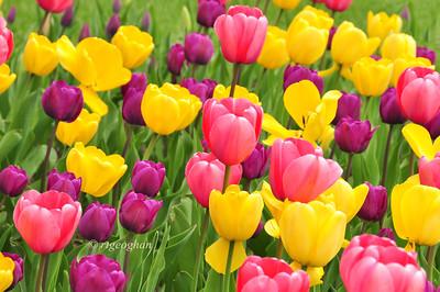Day 118: Tulip Garden- April 28.