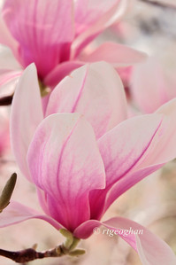 Day 116: Magnolia Blossoms - April 26.