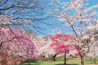 Day 108: Ornamental Cherry Trees - April 18.   The cherry tree blossoms at Branch Brook Park in Newark/Belleville N.J. are just about at peak bloom.  The 14 varieties of threes provide a beautiful display of pinks and whites across the park, where more than 4300.  trees are planted.  The first group of these trees was planted in 1927 as a gift to the park and many more have been added since then, with about 700 more to be planted in the coming year. .