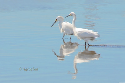 Day 102:- Snowy Egrets - April 12.  Snowy Egrets fishing at low tide in New Jersey Meadowlands.  Thanks for all of the very nice comments posted for my great egret post the other day - actually for all of the comments that this community posts each day.