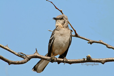 Day 104:- Northern Mockingbird - April 14.