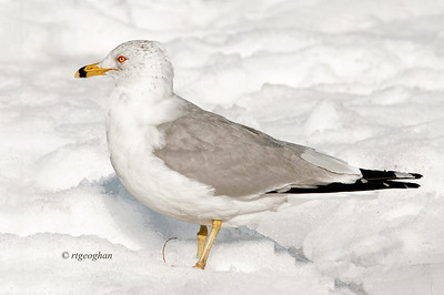 Day 056: Ring-billed Gull in Snow- February 25.  Even though we had beautiful spring-like temps over the weekend, there are still large areas where the snow and ice have not melted. Now we are back in below feezing mode for most of the week.