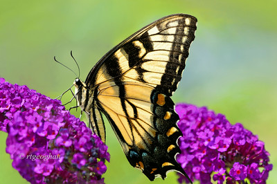 Day 203: Butterfly - Eastern Tiger Swallowtail - July 23