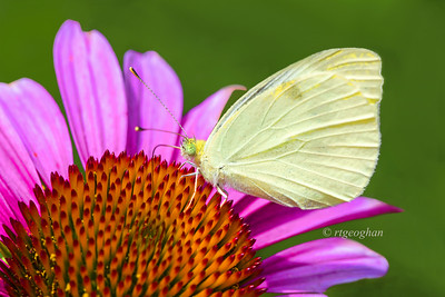 Day 199: Butterfly -Cabbage White on Purple Coneflower - July 19.