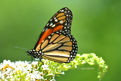 Day 203: Butterfly - Monarch- July 24