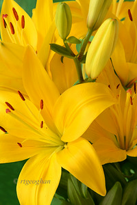 Day 180: Yellow Asiatic Lilies - July 1.   Happy July everyone.  Thanks for all of the supportive comments for my daylily post yesterday.