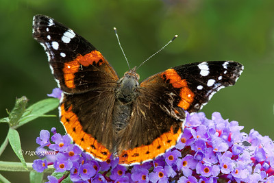 Day 198: Butterfly -Red Admiral - July 18.  Finally yesterday, I was happy to see some indication that butterflies are arriving - sightings of a Monarch, a Silver-spotted Skpper and this Red Admiral.