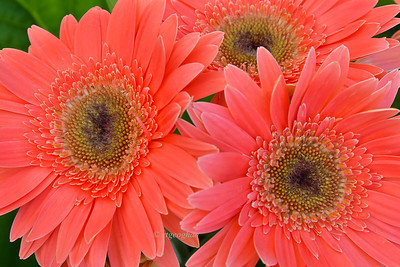 Day 161: Gerbera Daisies - June 10.  Love the bright beautiful color choices of gerbera daisies.