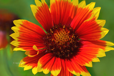 Day 168: Gaillardia -- aka Indian Blanket, firewheel) - June 17. Love the bright  bold colors of these perennial flowers that have been popping up this past week in some of the wild flower patches in my local park. .