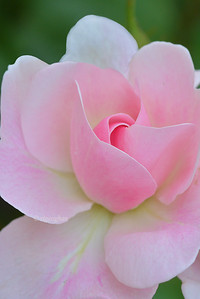 Day 163: Pink Rosebud - June 12.