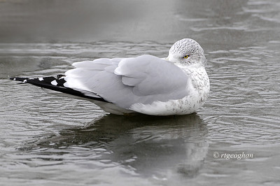 Day 002: Just Chillin - January 2, 2014.  Ring-billed gull napping on ice covered pond.