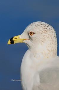 Day 020: Mug Shot - January 20.  Side view portrait of a Ring-billed Gull - January 20.