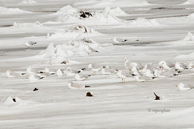 Day 027: Camouflage - January 27.  A noontime run for a duck or canada goose photo op yeilded neither.  Just this group of gulls chilling out on the ice and snow.