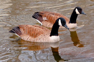 Day 081:- Canada Geese: March 22.