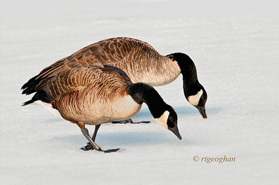 Day 071: Canada Geese-In Sync - March 12.  Even though we've had a few days here with warmer temps, there are still spots where the marshland is frozen.  These two geese were drinking on a frozen but slushy pond.