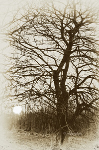 Day 078: Winter Tree at Sundown- March 19.   It is going to be one of those weeks - homebound due to contractor work being done and not much photo time.  A last minute shot last night as the setting sun slipped below the horizon of where I was standing.  Sepia toned.