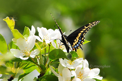 Day 126: Black Swallowtail Butterfly- May 6   A happy sight while out for a walk yesterday - my first butterfly sighting of the year.  Spring weather seems to finally be here. Thanks for all of the nice comments on my skyline post yesterday.