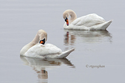 Day 128: Mute Swans - May 8. Preening mute swans - found on my walk yesterday on a drizzly, wet afternoon.