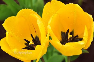 Day 122: Yellow Tulip Duo - May 2.