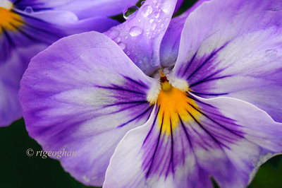 Day 129: Pansy and raindrops - May 9.   Rain and mist all day yesterday - took a quick walk in neighborhood during a break in the weather to find my photo for the day.  Heavy fog this morning and more rain for the day.
