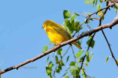 Day 150: Yellow Warbler - May 30.   This little guy was a pretty sight as the early evening sunlight enhanced his colors.   Thanks for the comments on my iris post yesterday.  Hoping to get back to the garden today or tomorrow for more photos - hopefully the wind condtion will be better.