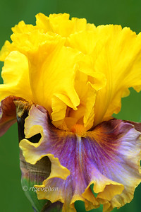 """Day 149: Iris Portrait - May 29.  This iris - named """"In Living Color"""" - is just one of  many beautiful varieties currently in bloom at Presby Memorial Iris garden In Montclair, N.J. Spent some time there yesterday where the soft light was perfect for flower photograhy with a lot of cloud cover.  However the wind was - well - very windy and it would take up to 10 minutes to get each photo by patiently waiting for a blossom to be still enough."""