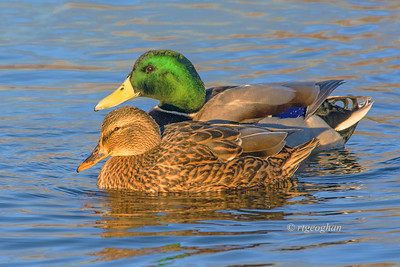 Day 314- Mallard Pair at Sundown - Nov 15.   This pair of mallard ducks glowed golden  as they swam into a patch of sundown light.