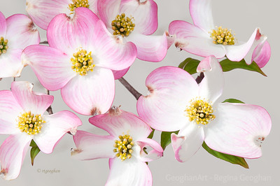 Day 106: Pink Dogwood Blossoms - April 15, 2012