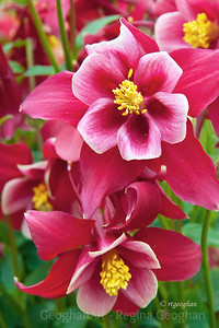 Day 116: Red Columbine - April 25, 2012.