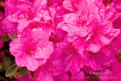 Day 114: Azaleas in the Rain - April 23, 2012.   A dark, chilly, windy, rainy day here in NJ today.