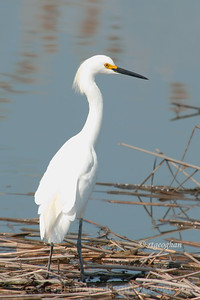Day 112: Snowy Egret - April 21, 2012.  Egrets and Herons are beginning to show up in the NJ Meadowlands another sign that spring has arrived.