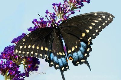 Day 230: Black Swallowtail butterfly- August 18.